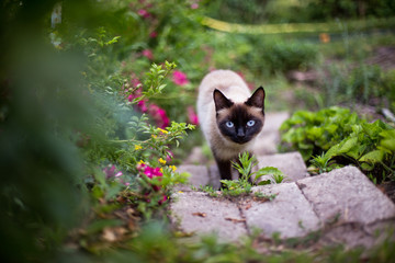a cat with a black face goes up the stairs among the roses. Free-range cat. Domestic cat on the street.