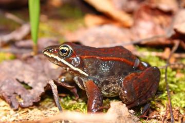 Wood Frog Northwoods Michigan