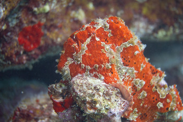 Commerson's Frogfish on Coral Reef