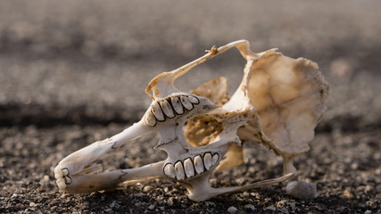 The skull of a radit lays decaying on a isolated asphalt road in the desert