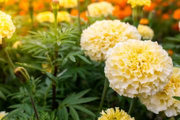 yellow chrysanthemum in the garden
