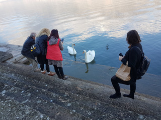 mobile phone photo photography people taking picture of sawns birds in  a lake