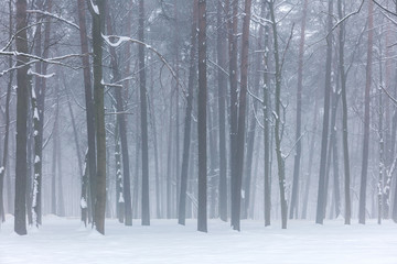 winter deciduous forest on a foggy december's day. misty woods in winter