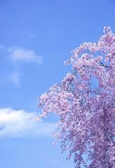 Wall Mural - 満開の桜と青空