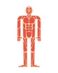 Muscular anatomy. Muscles system human body system.