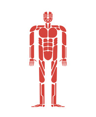 Muscles system human body system. Muscular anatomy
