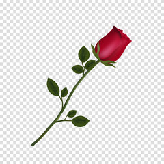highly detailed flower of red rose isolated on transparent background.