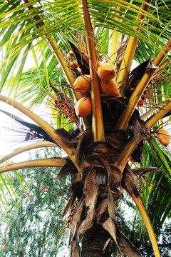 Attractive coconut tree cocos nucifera