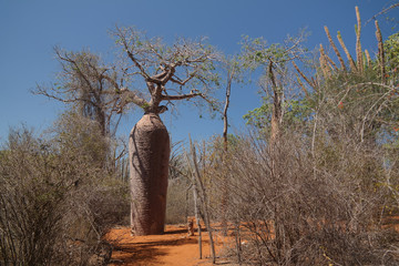 Landscape with Adansonia grandidieri baobab tree in Reniala national park, Toliara, Madagascar