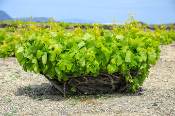 Weinanbau auf Santorini in Griechenland