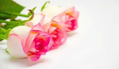 pink rose flowers  on white background