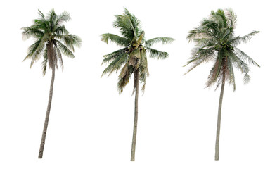 Collection Different Palms coconut the garden isolated on white background