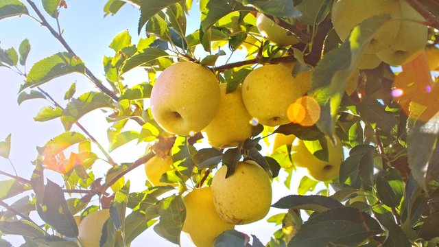 Delicious yellow apples hanging on a tree branch in an apple orchard