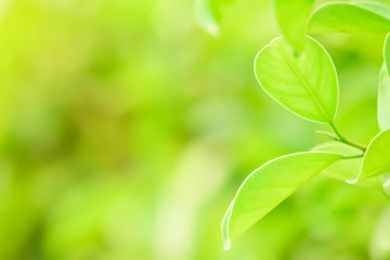 Closeup nature green background leaf blurred and natural plants branch in garden at summer under sunlight concept design wallpaper view with copy space add text.