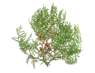 Thuja branch with cones isolated on white background