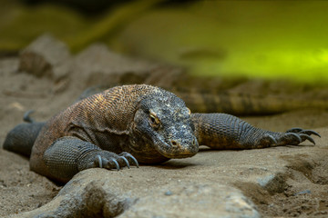 The Komodo lizard is the largest of the currently existing lizards and the heaviest modern representative of the scaly.