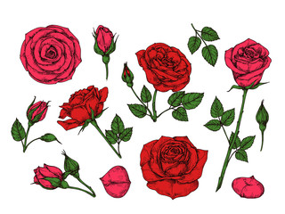 Red rose. Hand drawn roses garden flowers with green leaves, buds and thorns. Cartoon vector isolated collection. Red rose petal, floral flower romantic illustration