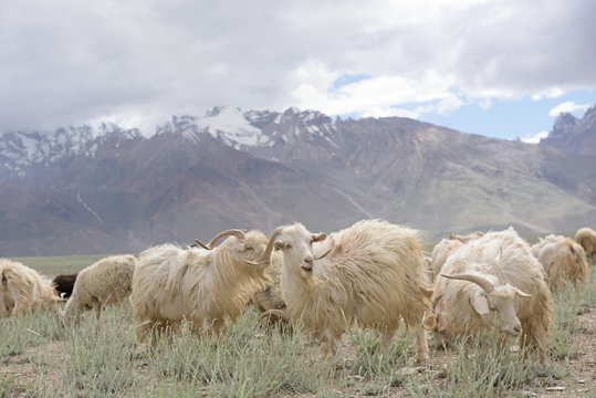 Kashmir goats in beautiful India landscape with snow peaks background