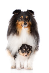 sheltie dog standing with a puppy between her legs on white background
