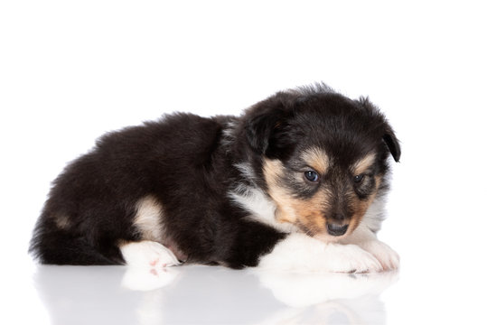 sheltie puppy lying down on white background