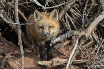 Fox Kit and den