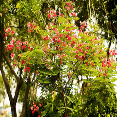 red flower tree in Imperatriz-MA, Brazil