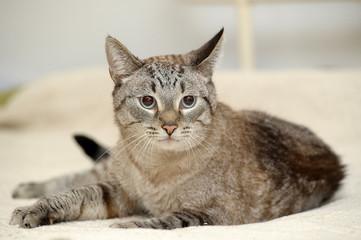 blue eyed thai tabby cat
