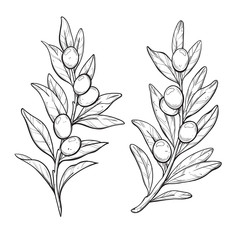 A branch of olive tree in graphic style. Vector illustration