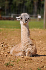 Baby alpaca have a rest in summer sunny day
