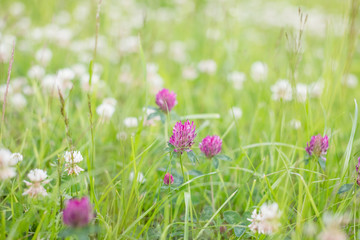 wild meadow pink clover flower in green grass in field in natural soft sunlight, Summer season,Autumn outdoor vintage photo with pastel colors and romantic atmosphere.environment day.Selective focus