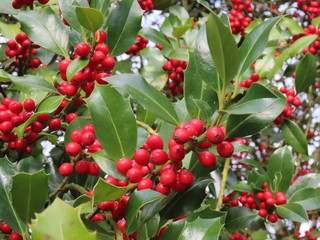 Holly branch closeup, red berries, green leaves