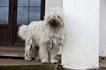 Dog komondor, hungary shepherd standind on the porch of the house