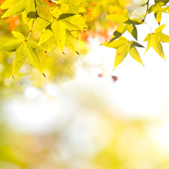 Colorful background of autumn maple tree leaves background close up