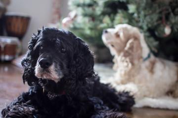 Cocker spaniel dogs by Christmas tree