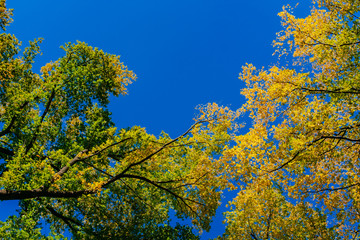View of canopy of trees with green and yellow autumn leaves on branches against clear blue sky