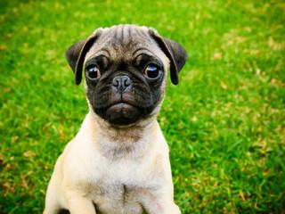 Cute Pug puppy on green grass