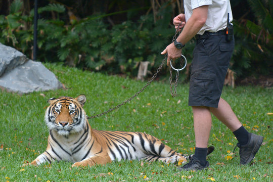 Bengal tiger on a leash
