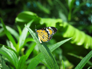 The Orange Monarch Butterfly Sitting on the Green Leaf