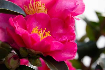 鮮やかなピンクの山茶花の花