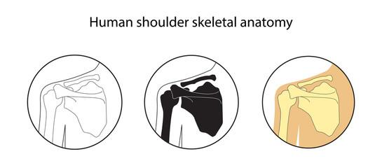 Vector illustration set of human shoulder skeletal anatomy