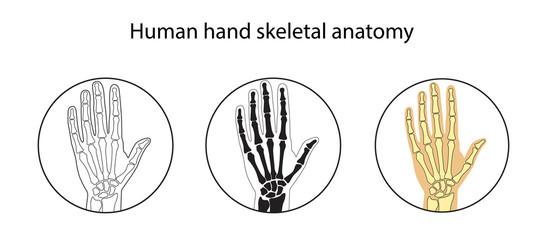 Vector illustration set of human hand skeletal anatomy