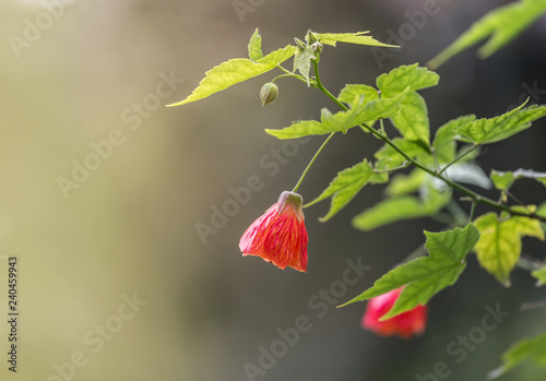 This Beautiful Flower Commonly Known As Redvein Abutilon Red Vein