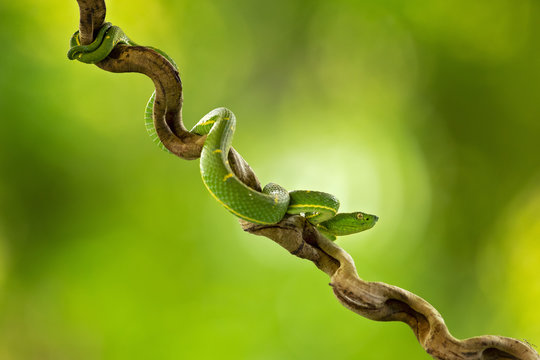 Bothriechis lateralis is a venomous pit viper species found in the mountains of Costa Rica and western Panama