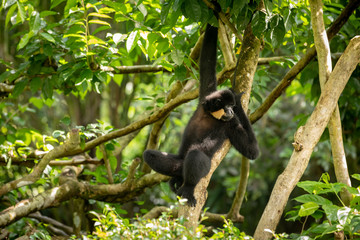 Yellow-cheeked Gibbon, Nomascus gabriellae, hanging relaxed in a tree.