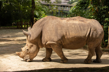 White rhino or square-lipped rhinoceros, Ceratotherium simum. Big male