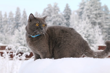 A gray cat walking in the snow on the background of the winter forest.