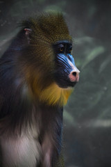 A bright yellow and blue muzzle of a monkey madril with lush fur