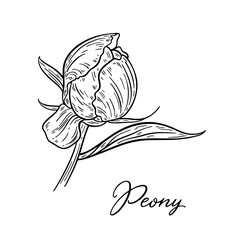 Peony flower hand drawn in lines. Black and white graphic doodle sketch floral vector illustration. Isolated on white background