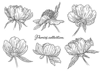 Peony flowers set hand drawn in lines. Black and white graphic doodle sketch floral vector illustration. Isolated on white background