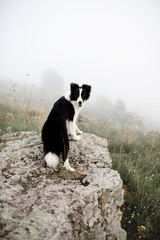 black and white dog border collie stay on rock in fog look back